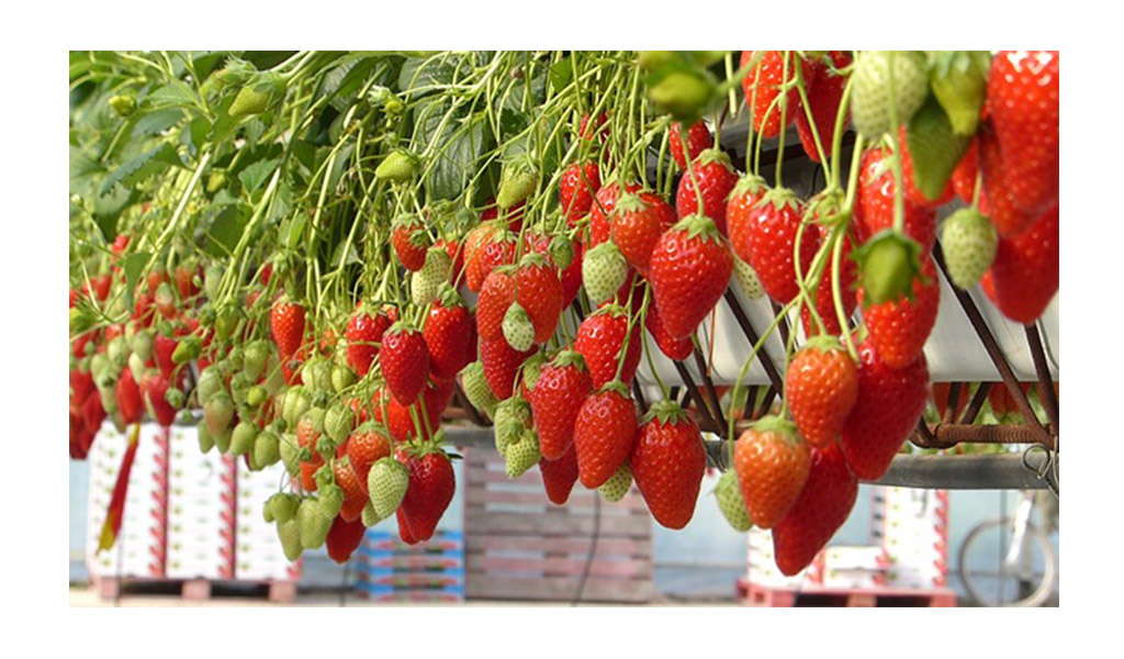 la culture de la fraise mas des fraises. Black Bedroom Furniture Sets. Home Design Ideas